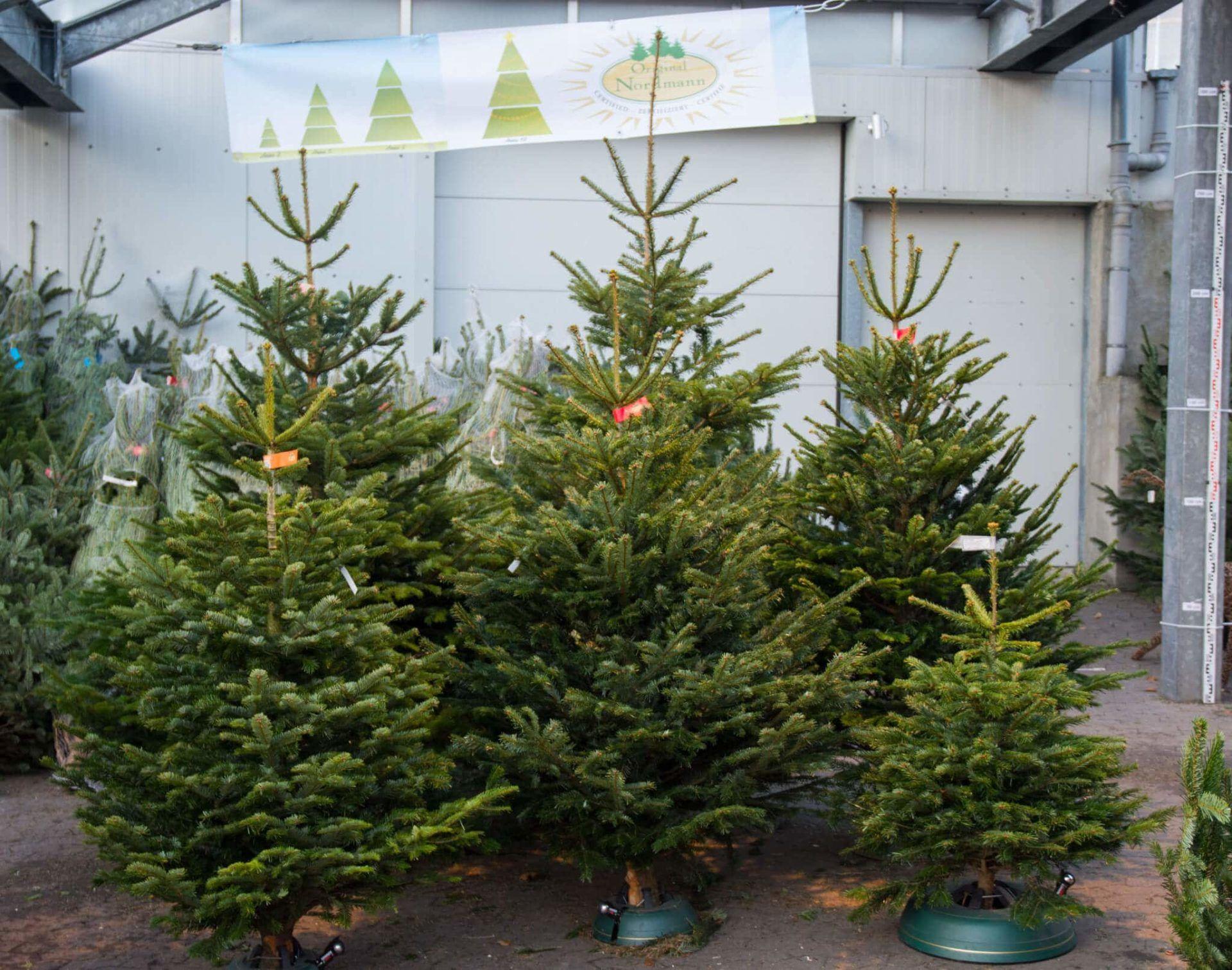 tipps f r den perfekten weihnachtsbaum blumen bruno mankopf. Black Bedroom Furniture Sets. Home Design Ideas
